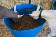 goats love the taste
