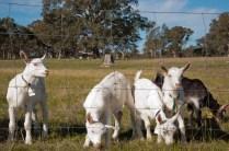 spring renewal at holy goat farm