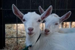 Spring 2015 at Holy Goat