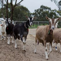 Obsalim in practice and the new milking line