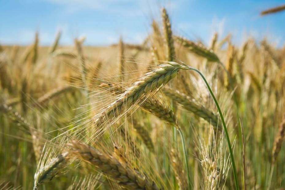 close-up of wheat heads in a field