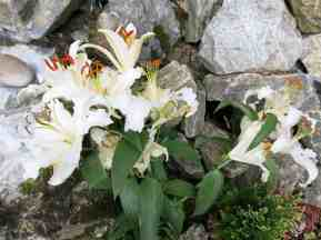 Lilies for the BVM