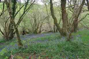 Through the dust bluebells