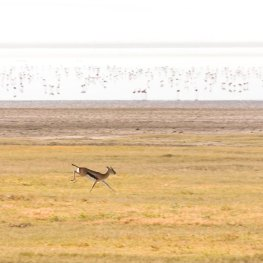 Vrije-Gazelle-Afrika