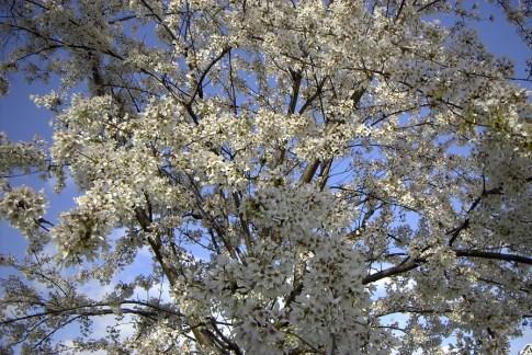 Blüten Kirsch