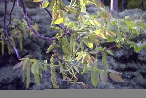 Walnussbaum - Blüten