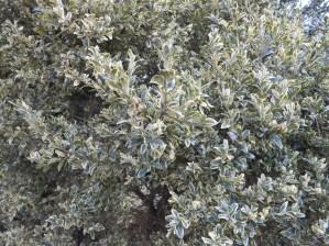 Buchsbaum - sempervirens