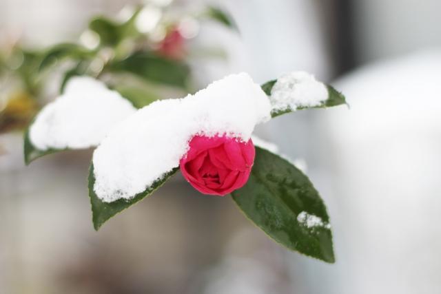 雪に覆われた寒椿
