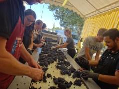 ブドウの収穫と仕分け作業