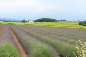 lavande-vigne-ぶどう畑とラベンダー畑