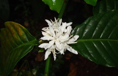 Kafeeblüte im Regen - Robusta