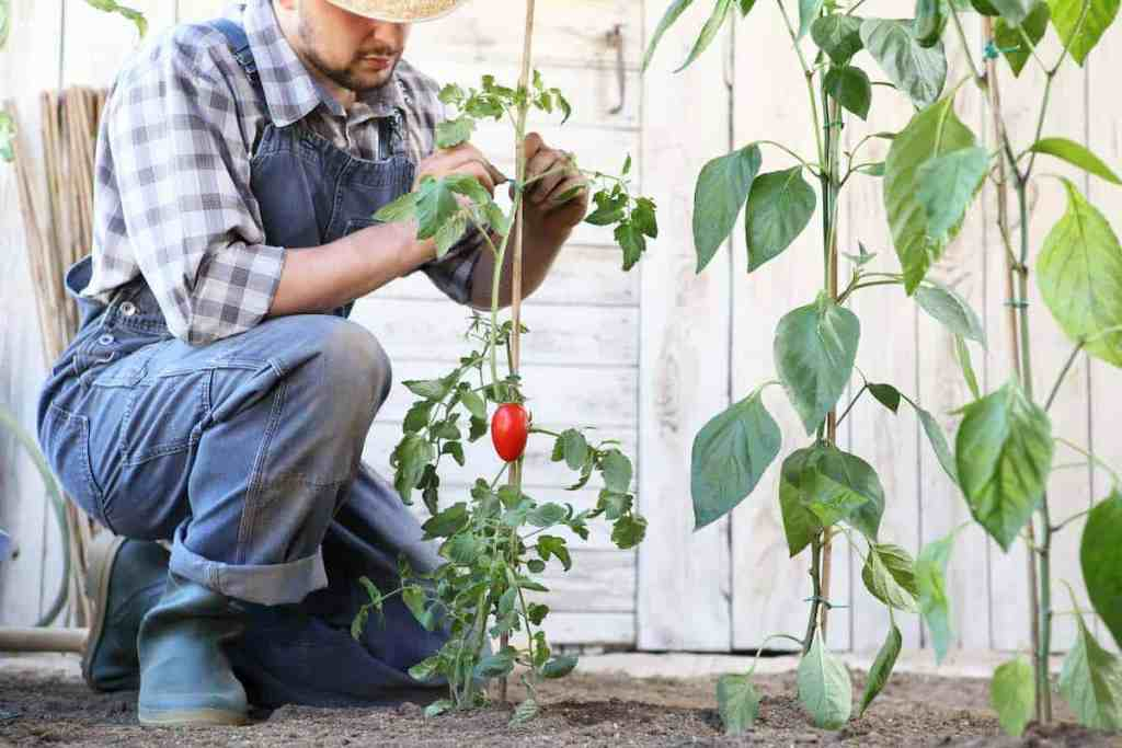 how to grow tomatoes and the best tomato fertilizers