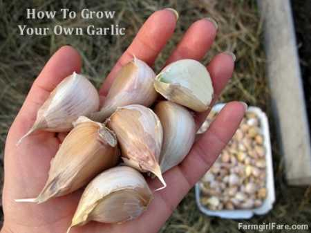 how to grow your own garlic home and garden. Black Bedroom Furniture Sets. Home Design Ideas