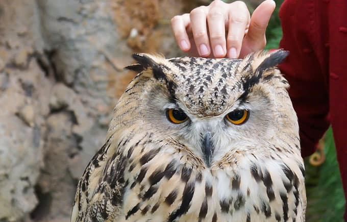 Are Pet Owls a Good Idea?