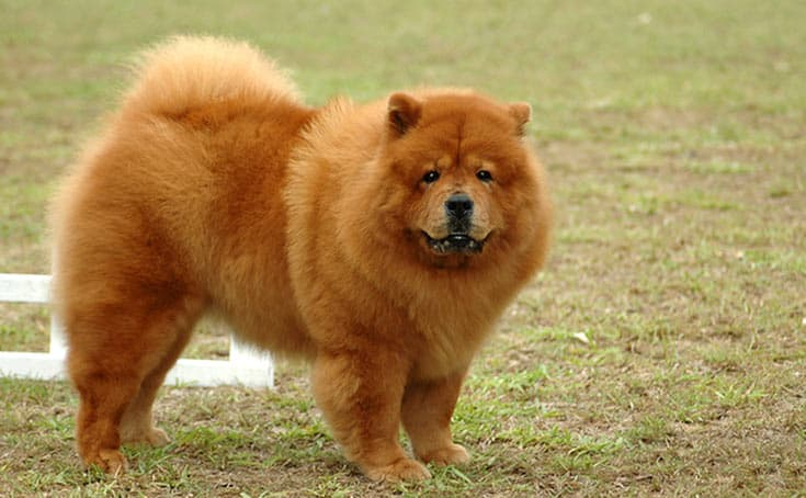 Read more about the article Chow Chow Temperament – Are Chows Good With Kids?