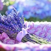 Využití a pěstování levandule v našich končinách