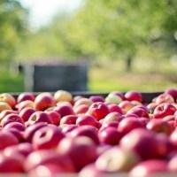 Sezóna přeje jablkům. Bude mošt!