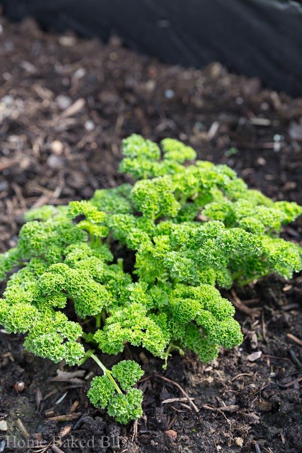 garden in April, herbs, flowers, vegetables, plants, how to grow plants