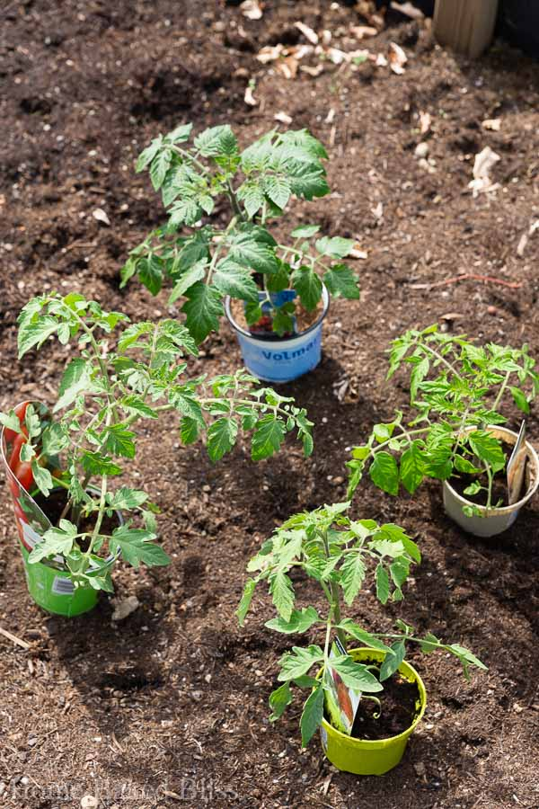 tomatoes, how to grow tomatoes, garden