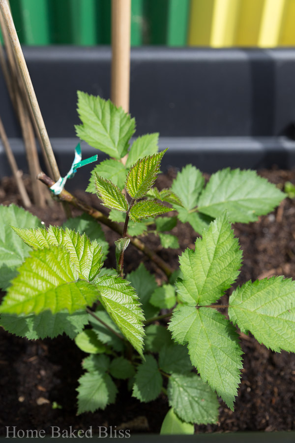 blackberries, how to grow blackberries, garden
