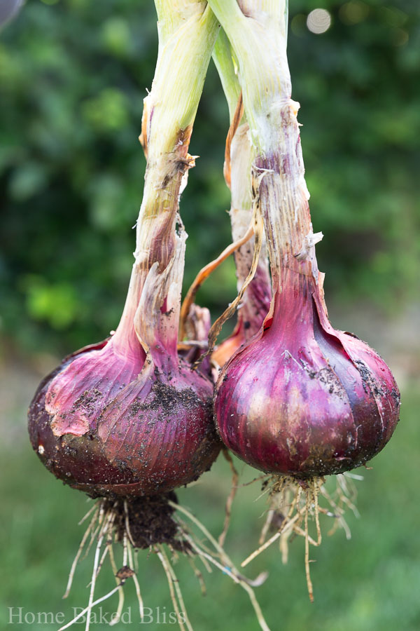 Red onions being harvested