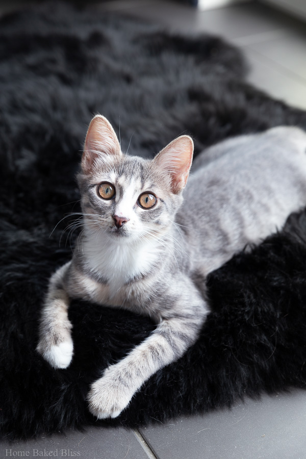 A silver kitten on a black sheepskin rug.