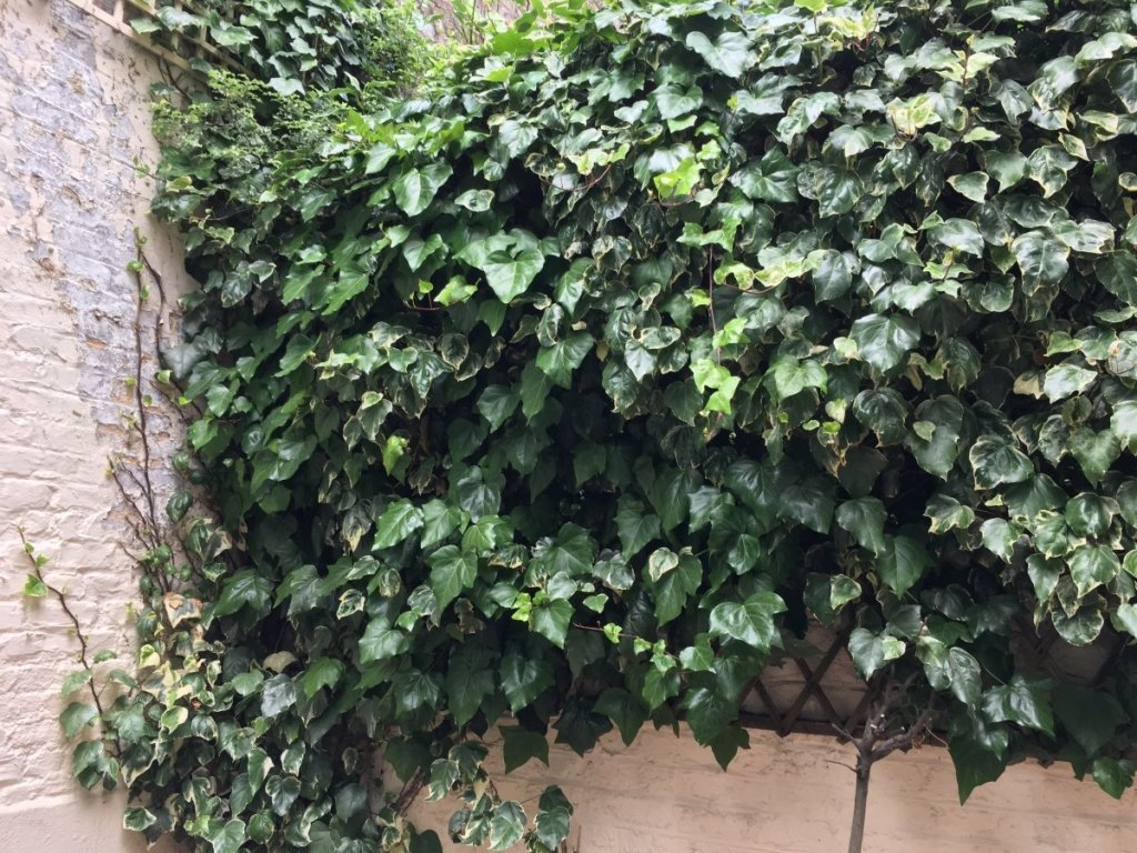 destructive ivy