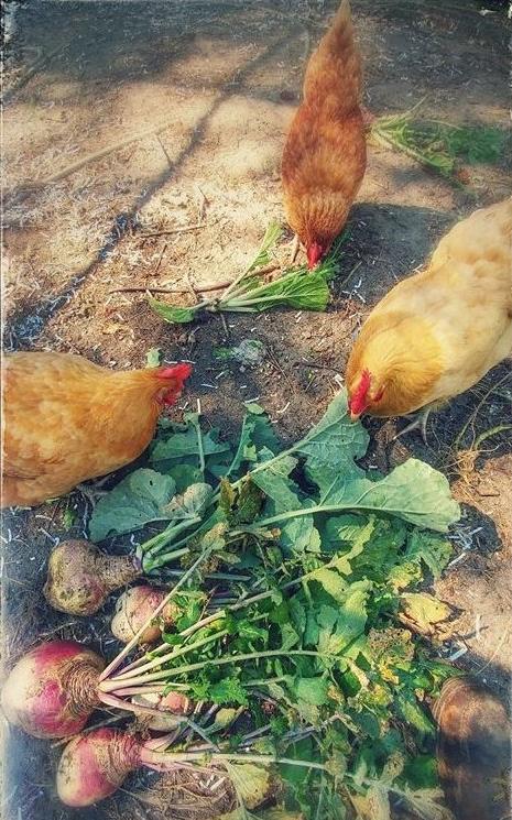 HomeDabbler | Chickens Eating Turnips