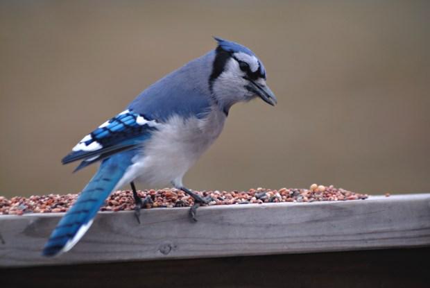 HomeDabbler blue jay eating bird seed