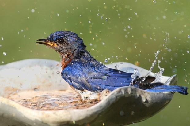 HomeDabbler blue bird taking a bath in a bird bath.