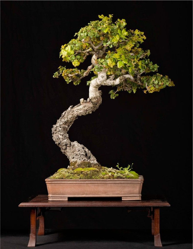 Coast Live Oak Quercus Agrifolia Bonze