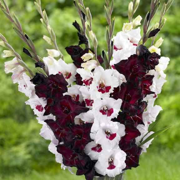 Gladiolus Fiorentina Longfield Gardens