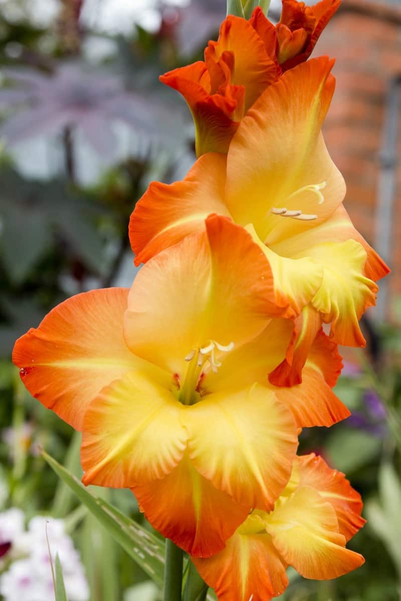 How To Grow Gladiolus And Add Color To Your Garden
