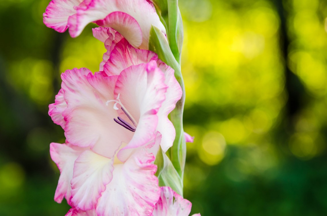 How To Plant And Grow Gladioli Install It Direct