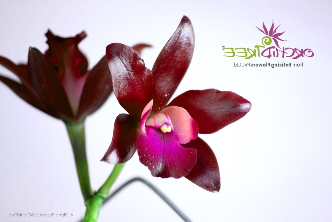 Lc Sagarik Wax African Beauty Buy Orchids Online At Www