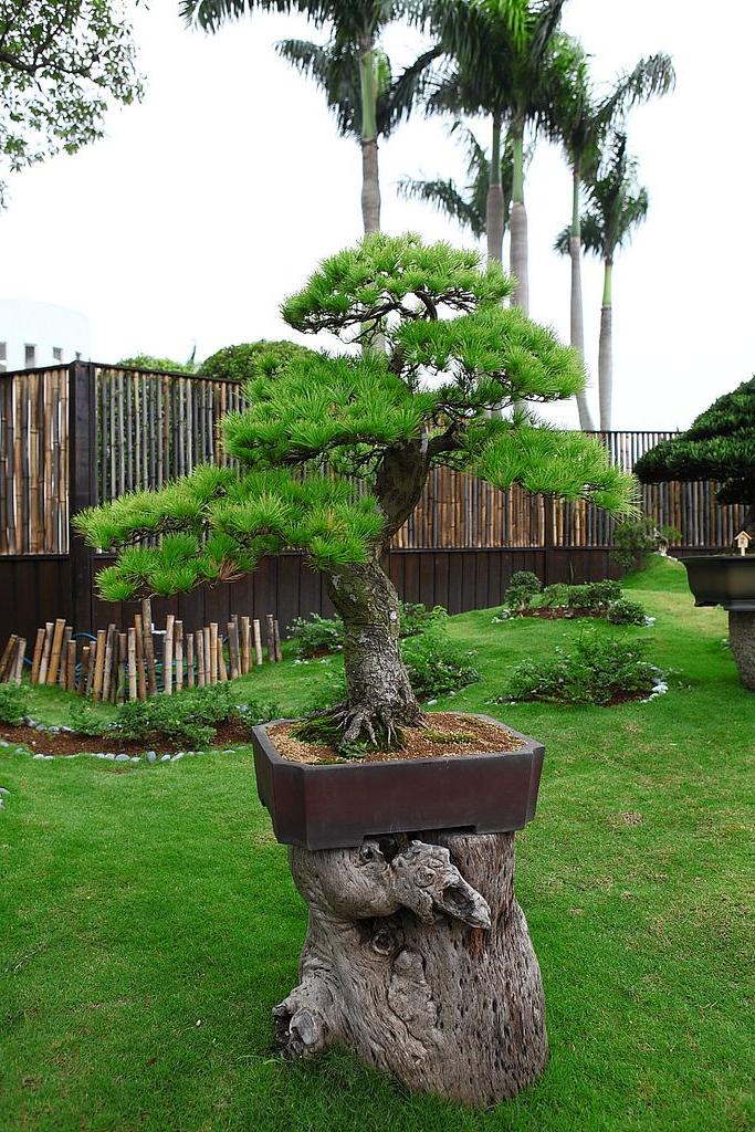 Pine Bonsai Bonsai Garden Bonsai Plants