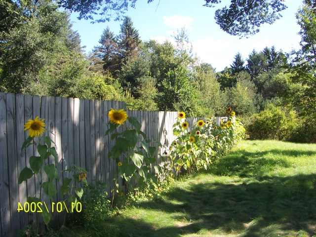 Sunflower Pics Flowers Growing Concrete Backyard