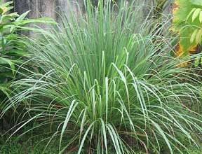 repel with citronella grass