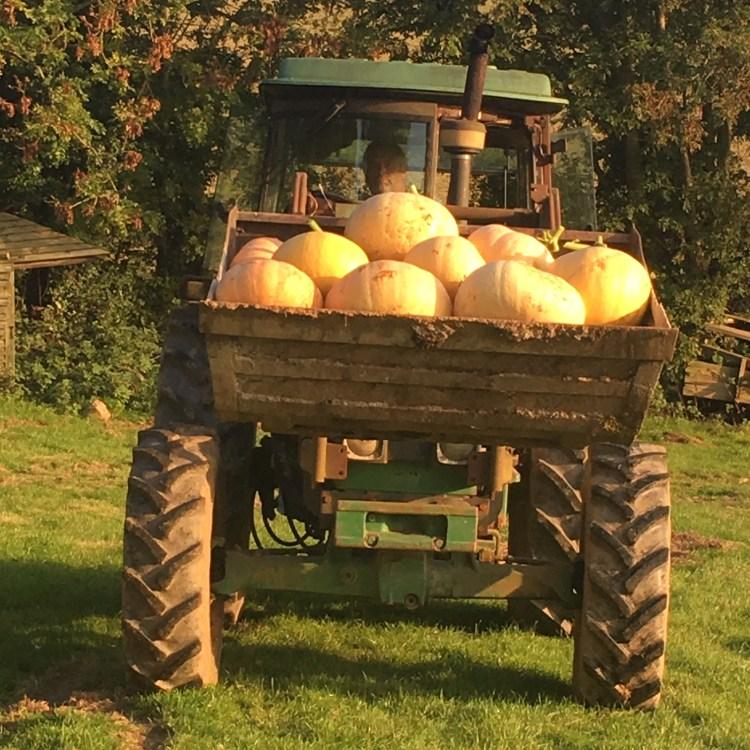 Home Farm Pumpkin harvest