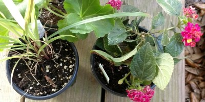 Mosquito Repellent Plants – Natural Solutions to Blood Sucking Pests