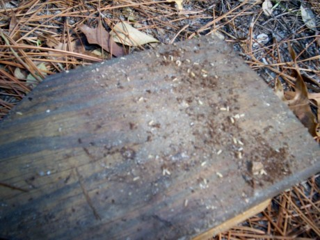 Termites and brown termite poop (frass)