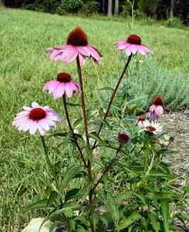 Purple coneflower is also called Echinacea purpurea.