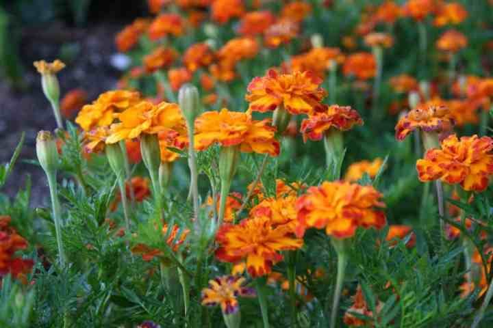 picture of marigolds