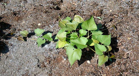 sweetpotatoplant