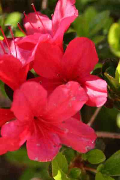 picture of a red azalea flower