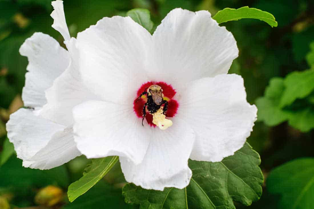 closeup photo of a flower on a rose of sharon bush