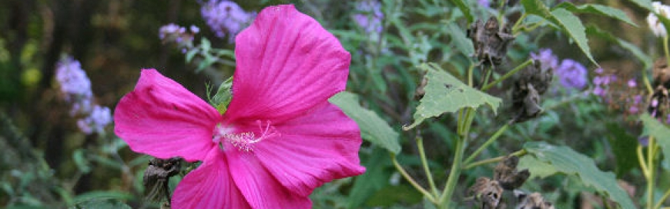 a pink hibiscus flower against a purple butterfly bush