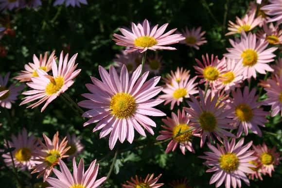 pinkdaisymums