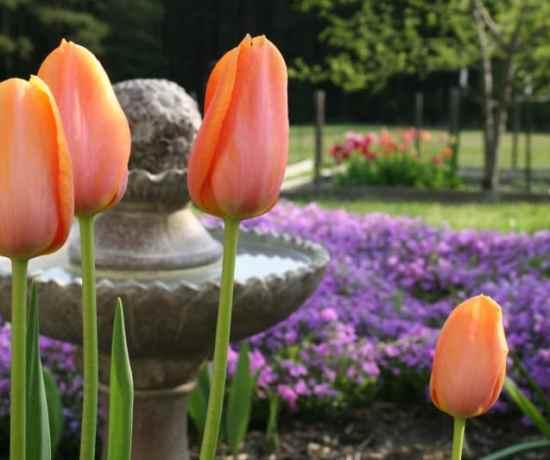 how long should tulips last