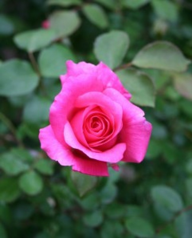 rose_dreamweaver